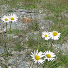 Daisies by the Road